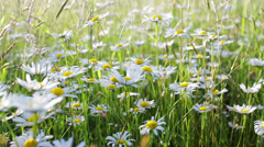 Daisy flower meadow field shallow focus with wind Stock Footage