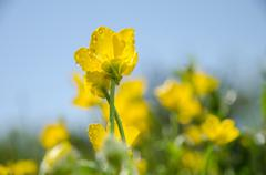 Low angle photo of sunlit buttercups Stock Photos