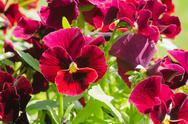 Stock Photo of group of  red pansies