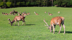 The herd of fallow deers Stock Footage