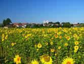 Stock Photo of field od sunflowers near Františkovy Lázně