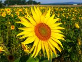 Stock Photo of bloom of sunflower