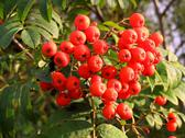 Stock Photo of edible berries of red rowan