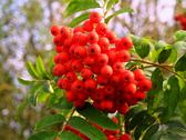 Stock Photo of fruit of red rowan