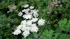 Cow Parsnip - British Wildflower Stock Footage