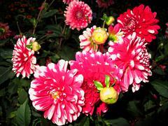 Pink dahlia in garden Stock Photos