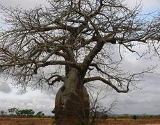 Huge tree baobab in africa - stock photo