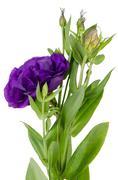 Lacecap Hydrangea (macrophylla normalis) - stock photo