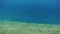 Underwater timelapse. Deep blue water, white sand and dancing  sea eels Stock Footage