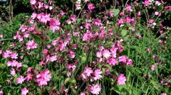 Pink Campion  - British Wildflower - stock footage