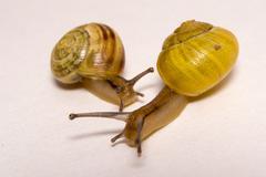 white-lipped banded snail (cepaea hortensis) - stock photo