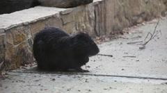 Funny märkä Euraasian Beaver, Castor fiber, söpö eläin raapiminen, itse hoitotuotteita turkisten Arkistovideo