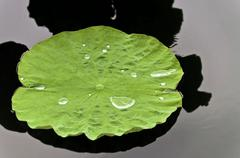 Lotus Leaf with water - stock photo