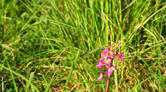 Purple orchid on green meadow Stock Footage