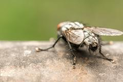 House Fly Stock Photos