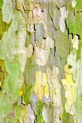 Close up of plane tree bark Stock Photos