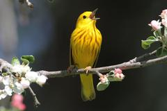 Yellow warbler (dendroica petechia) singing Stock Photos