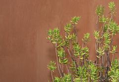 Sedum reflexum against terracotta color wall - stock photo