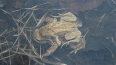 Underwater toads in love Stock Footage