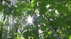 Young leaves of hazel, the sun behind the tree trunks Stock Footage