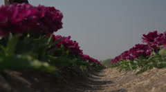 Noordwijk, inside the flowerfields, bleu sky - stock footage