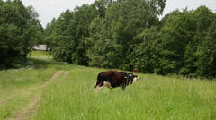 Bulls graze in pasture near rural road and wooden house Stock Footage