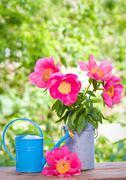 Kukkivat vaaleanpunainen pionit ja vesi voi puutarha Kuvituskuvat