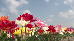Noordwijk, inside the flowerfields, bleu sky, slowmotion - stock footage