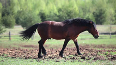 Chestnut male horse in paddock Stock Footage