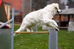 golden retriever at agility course - stock photo