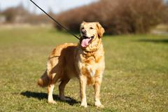purebred dog in a leash - stock photo