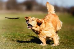 Golden retriever chasing a stick Stock Photos