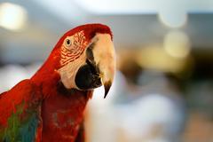 red ara parrot - stock photo