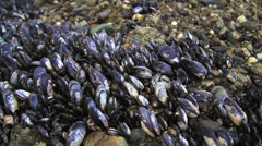 Tidal Zone Muscle Colony Stock Footage