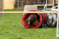 brown labrador at agility course - stock photo