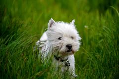 cure white westland terrier dog in grass field - stock photo