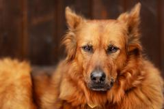 mixed-bred dog - stock photo