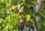 Pears growing in the pear orchard Stock Photos