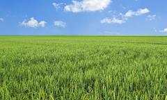 Stock Photo of wheat field and blue sky with clouds