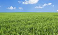 Wheat field and blue sky with clouds Stock Photos