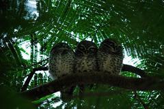 Athene Brama, Spotted Owlet - stock photo