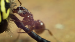 Fire ant eating dead wasp Stock Footage