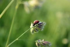 Ladybird on a stalk of grass Stock Photos