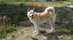 dog akita inu japanese female - stock photo
