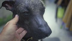 Mexican hairless dog - stock footage