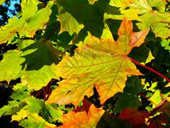 Stock Photo of maple leaves in autumn