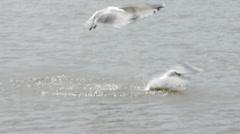 Seagulls fighting for food Stock Footage