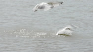 Stock Video Footage of Seagulls fighting for food