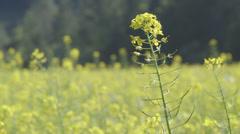 Mustard flower moving in wind. Stock Footage