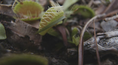 Venus Flytrap In The Wild Closing On Ant 4K Stock Footage